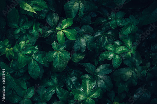 Fototapety, obrazy: Foliage of tropical leaf in dark green with rain water drop on texture, abstract pattern nature background.