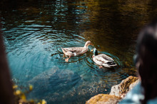 Ducks In Pond Swimming Together