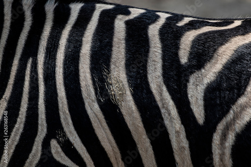 In de dag Zebra Striped zebra wild animal skin hairy texture with staind