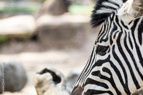 Poster Zebra Zebra wildlife animal head portrait close up on a blurry background