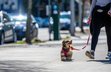 Girl Walking Small Shaggy Teri...