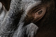 Hippopotamus wildlife scene eye close up portrait