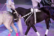 White And Black Horses On White Arena Background In Circus