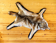 Stuffed Wolf Is Hanging On Wooden Wall. Scarecrow Of A Wolf, Hunting Trophy