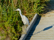 Little Egret On A Wooden Walkway (Egretta Garzetta) In The Camargue Is A Natural Region Located South Of Arles, France, Between The Mediterranean Sea And The Two Arms Of The Rhône Delta