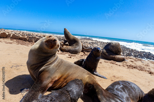 Poster Cappuccino seal Cape Cross is a small headland in the South Atlantic in Skeleton Coast deserts and nature in national parks