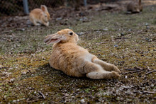 Cute Wild Bunny Rabbits In Jap...