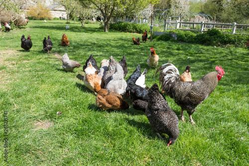 La pose en embrasure Poules coq et poules pondeuses