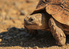 Leopard Tortoise Called Also Mountain Tortoise In A South African Nature