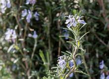 Blooming Rosemary Detail.