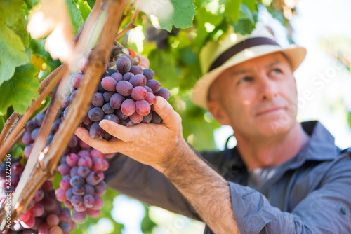 Winegrower man in straw hat picking ripe grapes Fototapete