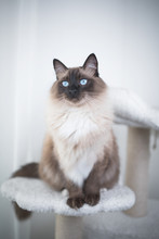Seal Colourpoint Ragdoll Cat Standing On Scratching Post Cat Furniture