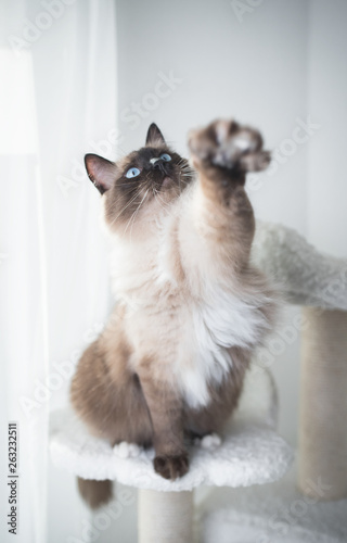 Valokuva Seal Colourpoint Ragdoll Cat standing on a scratching post reaching for cat's to