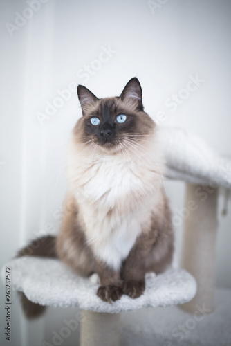 Seal Colourpoint Ragdoll Cat standing on scratching post cat furniture Canvas-taulu