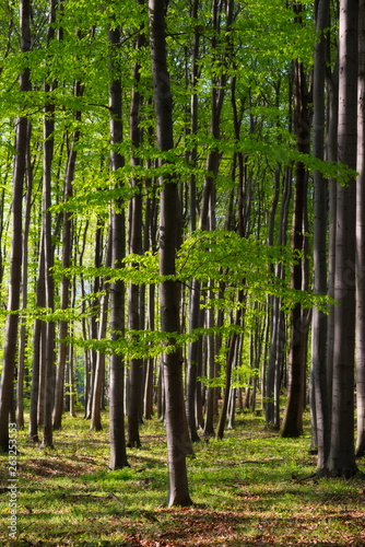 Photo  Beautiful beech forest