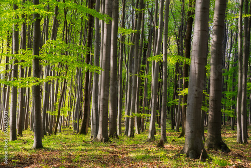 Poster de jardin Nature Beautiful beech forest