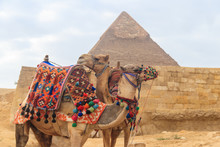 Two Camels On The Giza Pyramid...