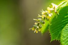 European Hornbeam Flowering