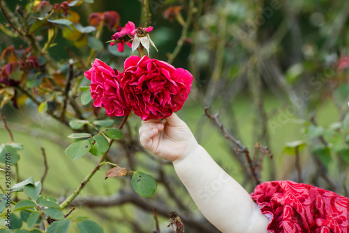 Fotografie, Obraz  Chubby Toddler Arm Grabbing for a Fresh Spring Flower Rose Bloom at a Local Park