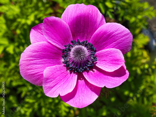 Fotografija Closeup of a beautiful pink Anemone de Caen flower