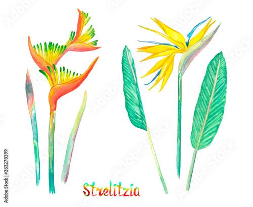 Fototapeta Strelitzia flowers isolated on white hand painted watercolor illustration with handwritten inscription obraz na płótnie