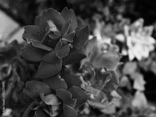 rose flower in black and white