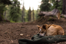 Dog Sleeps At Her Campsite On A Blanket