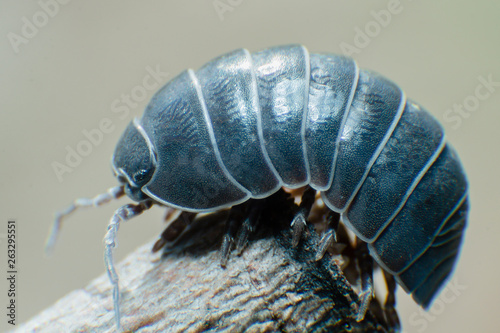 Cuadros en Lienzo  Pill Bug Armadillidium vulgare crawl on branch grey background side view