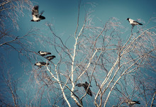 A Flock Of Crows On A Birch Tree On A Clear Spring Day