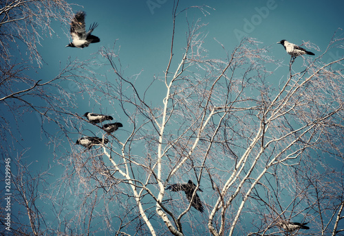 Fotomural  A flock of crows on a birch tree on a clear spring day