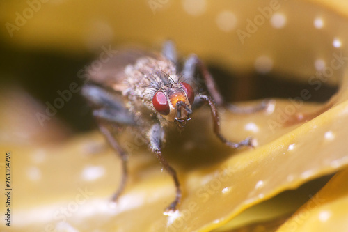 Fotografía  Grey blowfly (Sarcophaga carnaria)