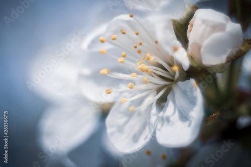 kwitnące kwiaty wiśni