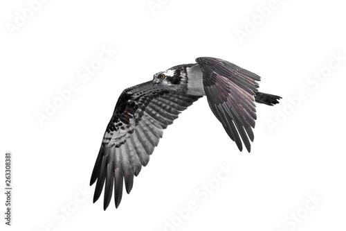 Photo  Osprey (Pandion haliaetus)