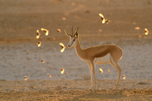 Springbok - Antidorcas Marsupi...