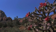 Bee Buzzing By Staghorn Cholla...