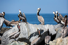 Pelicans Roost And Nest On Rocks Around The Edge Of The Bay