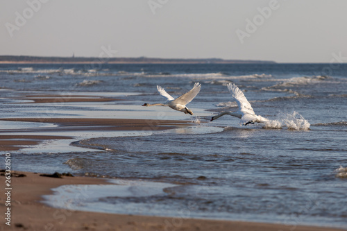 Fotografie, Tablou  Swans fighting in the beach