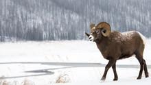 Bighorn Ram In The Snow