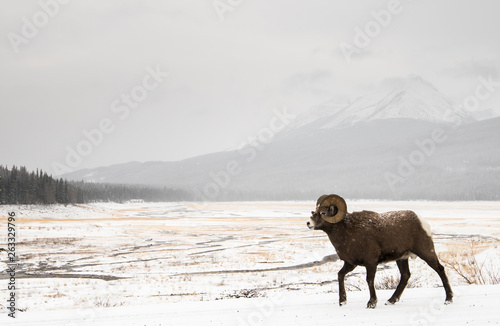 Cadres-photo bureau Sheep Bighorn ram in the snow