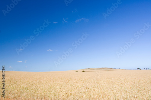 Photo Stands Night blue A beautiful simple rural landscape with a field of grain and sky.