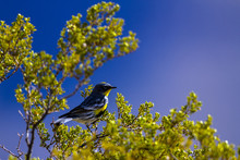 Yellow-rumped Warbler In South...