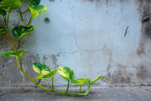 Fresh Green Ivy On Old Cement ...