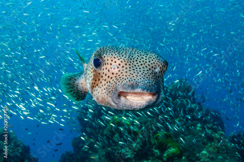 A curious Pufferfish / Porcupine fish on a tropical coral reef