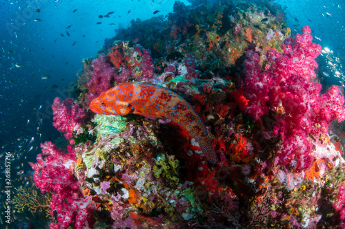 Staande foto Koraalriffen Colorful Coral Grouper on a tropical coral reef