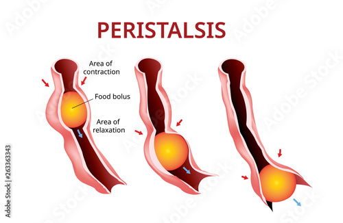 Photo Digestion and Peristalsis