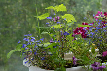 Nature In Home. Petunia, Lobelia, Nettle And Plantain Grow In Container In Small Garden On The Balcony.