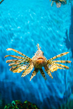 Beautiful Lion Fish In Deep Se...