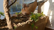Mourning Doves Are Well Known ...