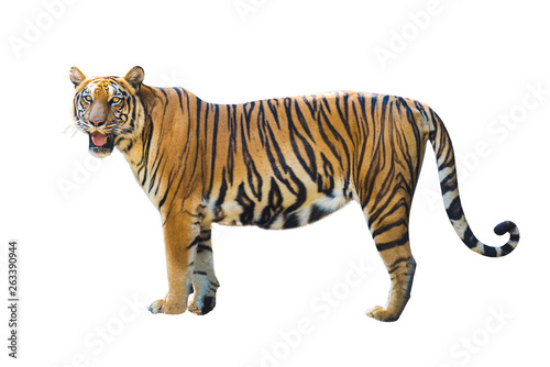 Foto auf AluDibond Tiger Tiger pictures on white background have different verbs.