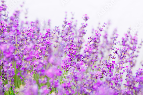 Photo  Summer background of lavender flowers. Close up, selective focus.